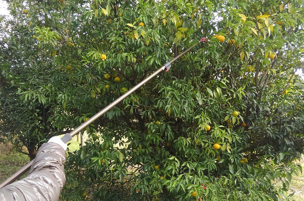 高枝切り鋏での剪定と収穫